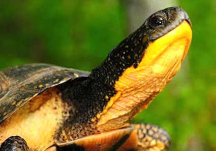 Once common in the Midwest and Northeast, the yellow-throated turtle populations are now found only in Minnesota and Nebraska. www.fws.gov