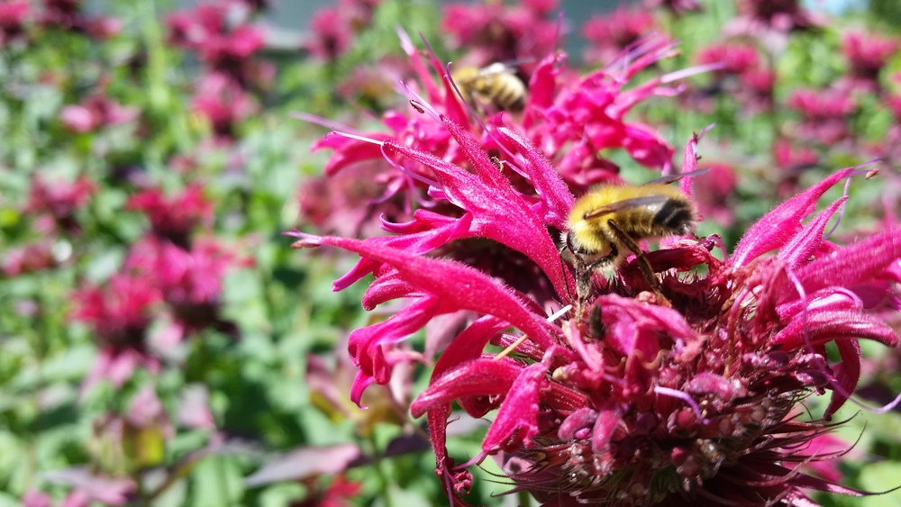 Monarda didyma in my garden.  Blooms profusely in summer. - always covered with native bees and other pollinators.