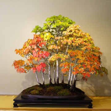 Autumn Bonsai: The Colors of Nature (opens this Saturday Oct. 29) Enjoy bonsai in their glowing autumn colors before the leaves fall away: a formal display of select trees during their peak fall colors, including red maples, yellow ginkgos, fruiting trees, and more.