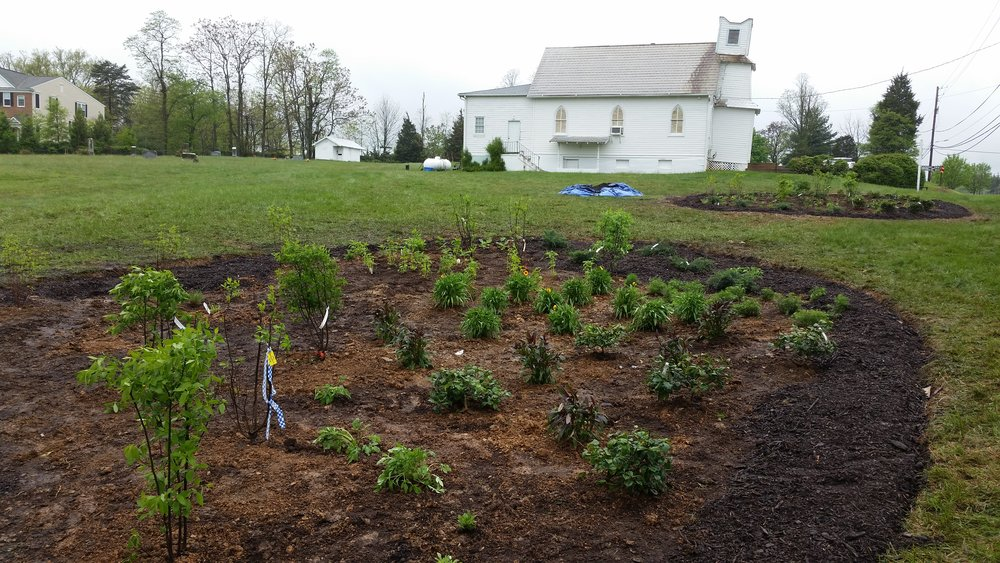 The same slope after our Earth Day volunteer event.  A few gaps that still need plants and the entire center needs newspaper/cardboard and mulch.  We'll also add some trees and a planted bed under the entrance sign.