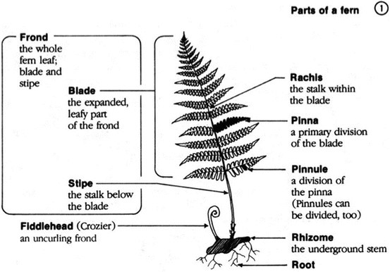 Diagram from the helpful pocket-sized booklet, Fern Finder by Anne C. and Barbara G. Hallowell.  It includes a key to ID common ferns of central and northeastern U.S. and Canadian ferns.