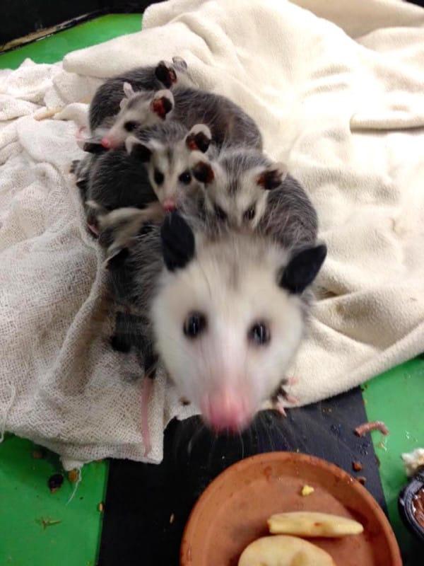 opossummombabies_c-600x800.jpg