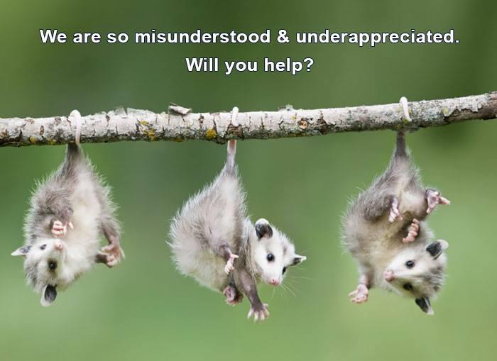 opossum help.jpg
