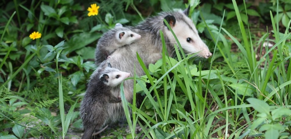 http://blog.nwf.org/2017/06/opossums-unsung-heroes-in-the-fight-against-ticks-and-lyme-disease/