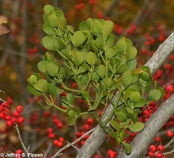 Mistletoe-1.png
