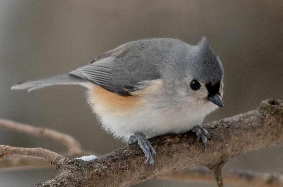 tufted titmouse, chantilly VA, johnson.jpg