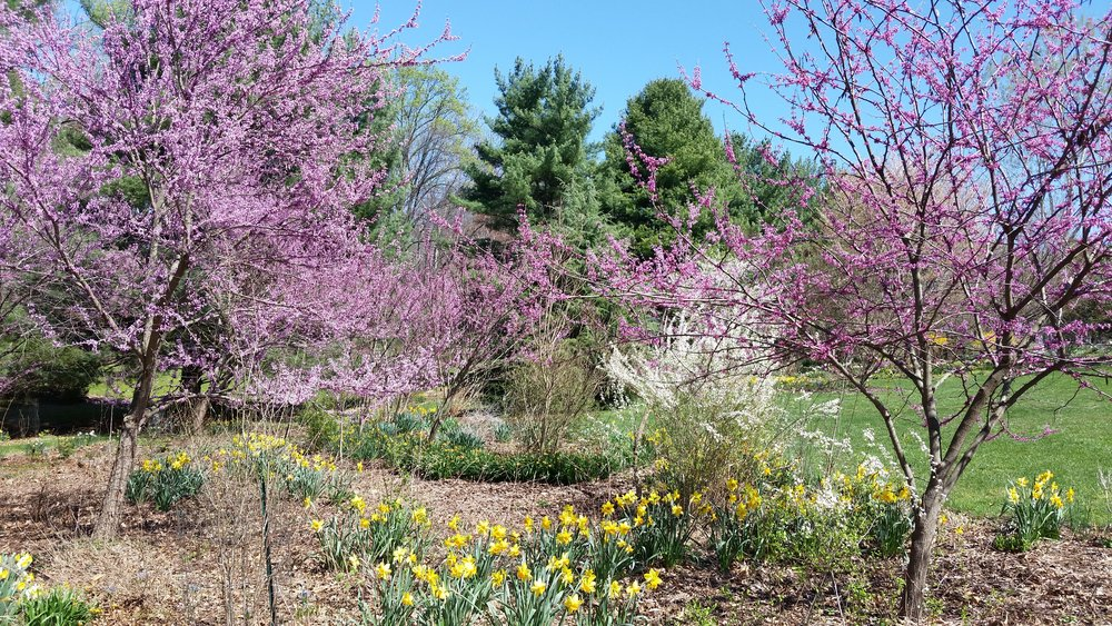 Redbud and white pines in Merikay's garden -- mature examples of some of the trees available.