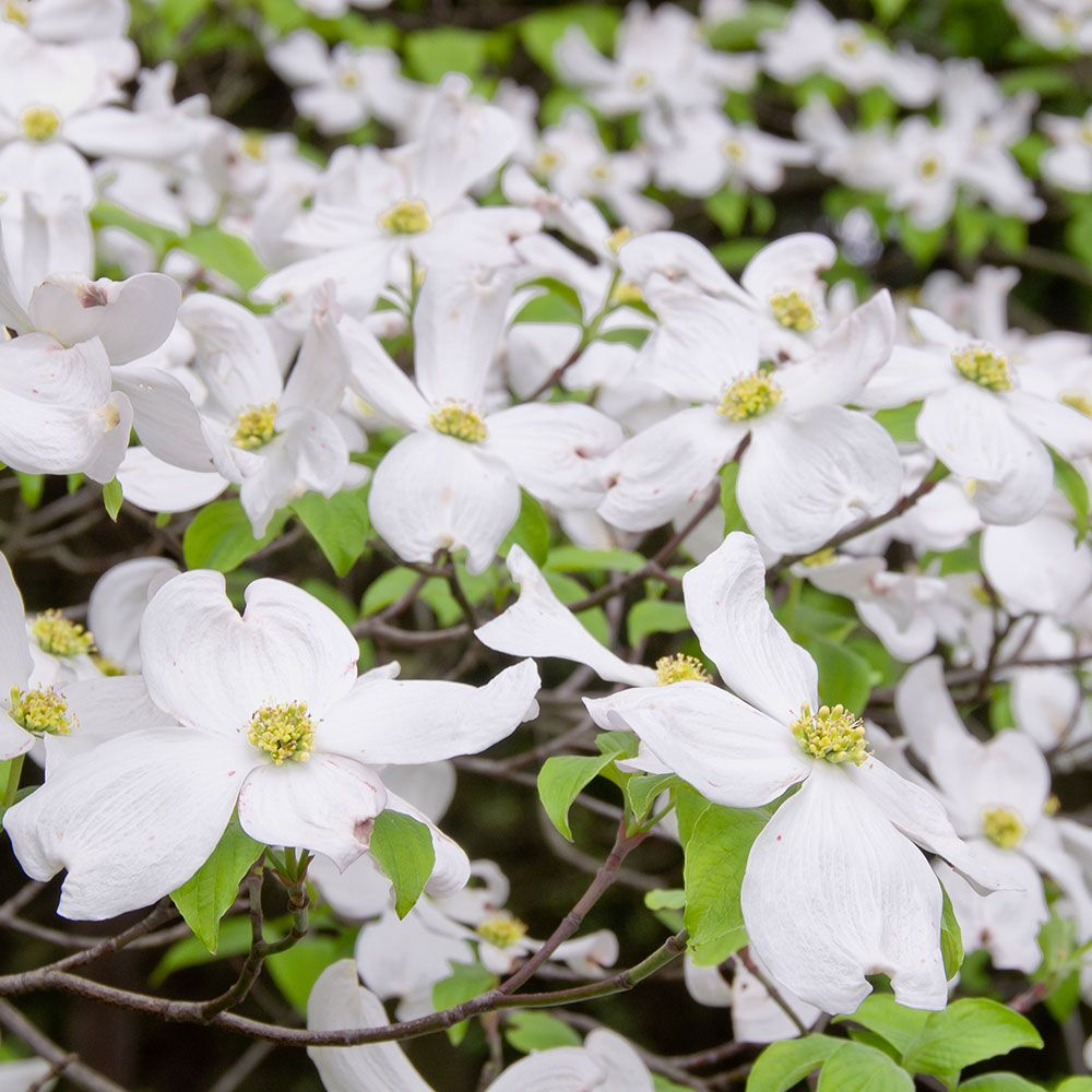 dogwood flower.Jpg