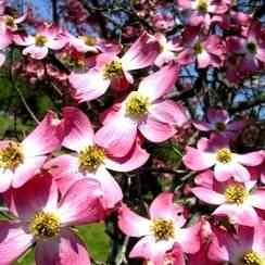 dogwood pink.jpg