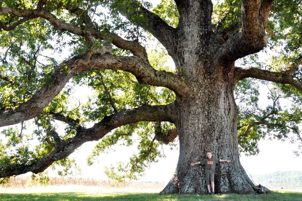 white oak MD state tree.jpg