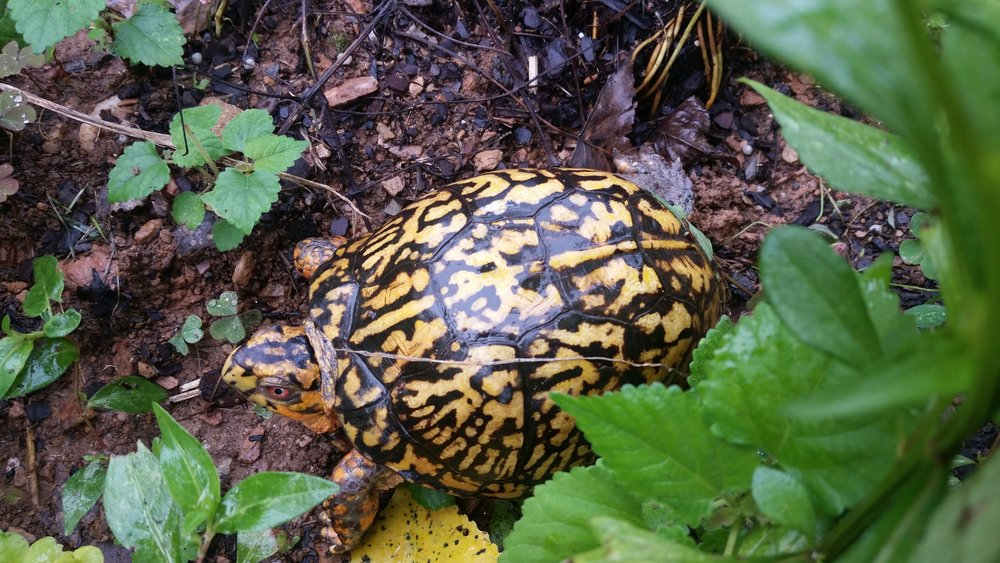 Male box turtle in Merikay's garden, July 2018.  The reddish orange eye is a male indicator.