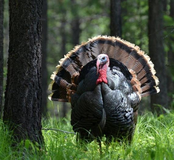 Wild+Turkey++3.jpg