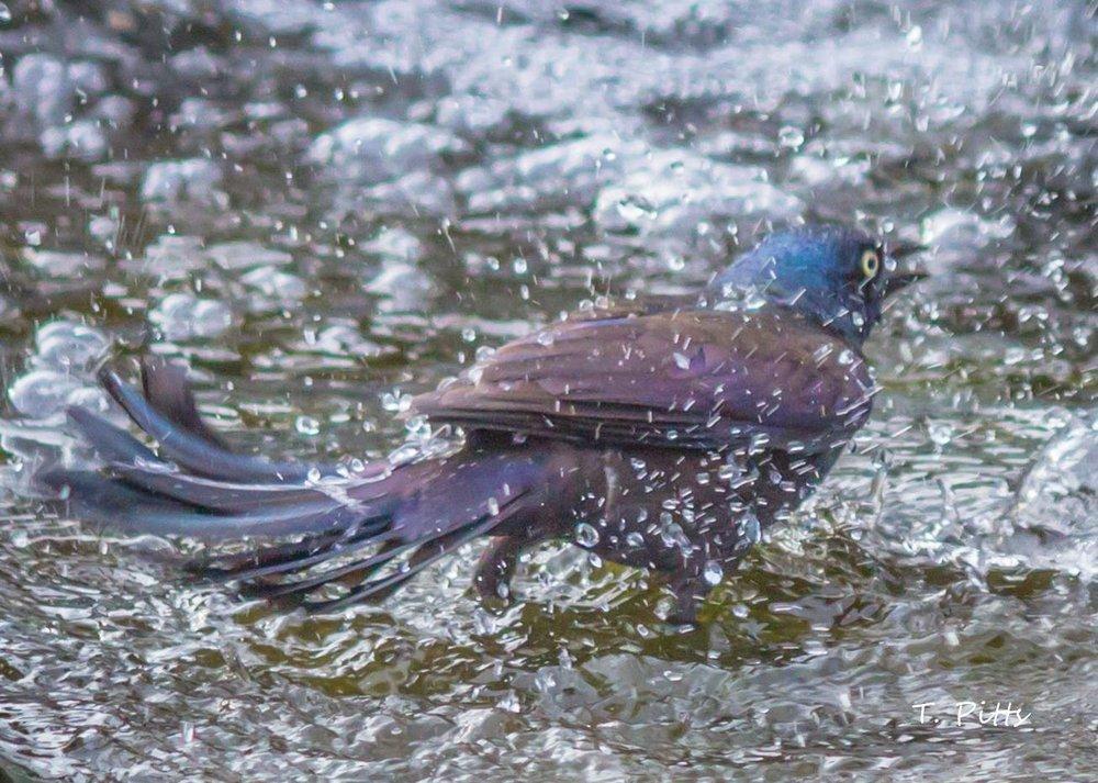 Splish, splash; grackle, crackle. Spring by Terri Pitts