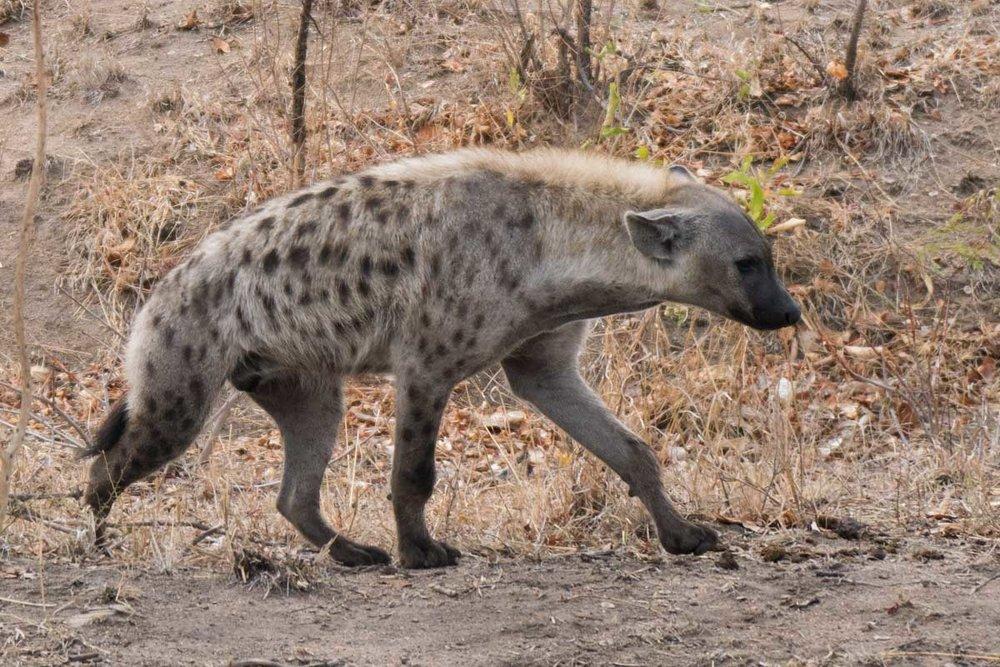 2016-10-02 Kruger So. Africa-276.jpg