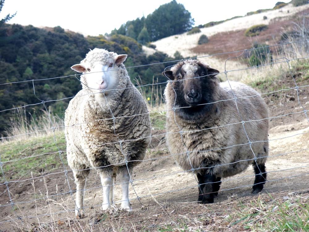 sheep-w.jpg