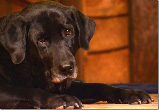 Forge Labradors Belle