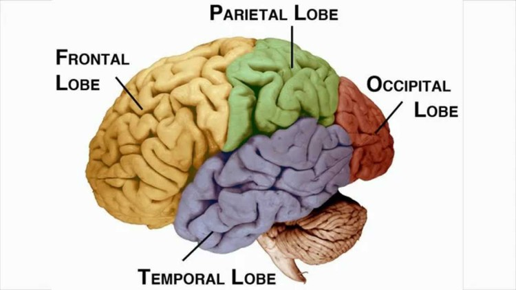 Brain 101 get to know your lord and master stuff about brains the smallest lobe located at the very back of the head is called occipital lobe and its all about vision visual signals travel all the way from your ccuart Gallery