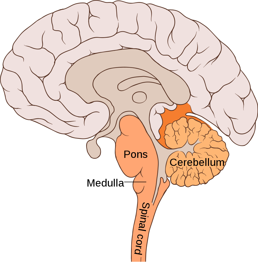 The orange things are your brainstem and the cerebellum.