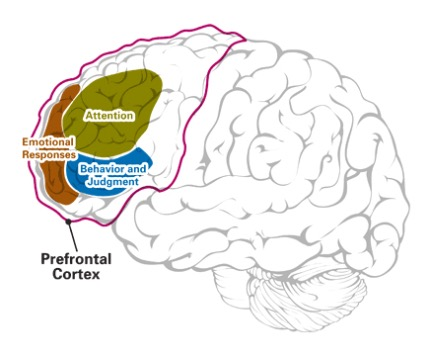ADHD is caused by under-activity in the prefrontal cortex (PFC)
