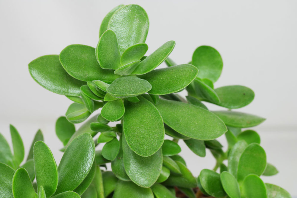 Crassula-MoneyMaker.jpg