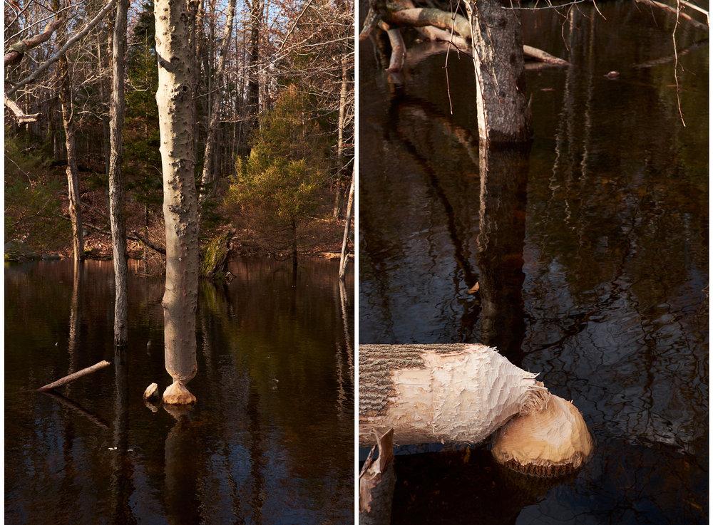 Beavers aa.jpg