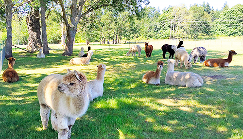 Krystal Acres - Alpaca Farm