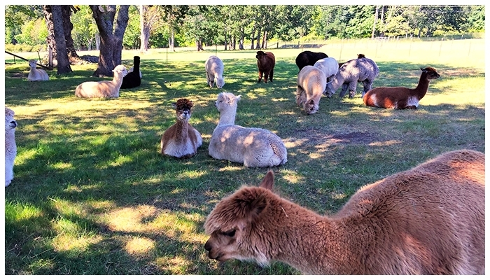 Krystal Acres Alpaca Farm