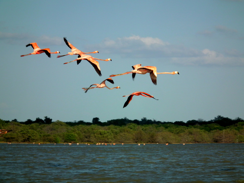 Pink flamingos in La Guajira
