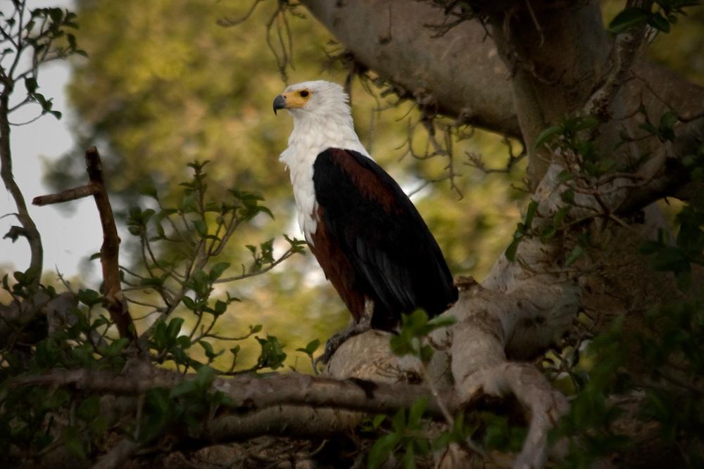 african fish eagle.jpg