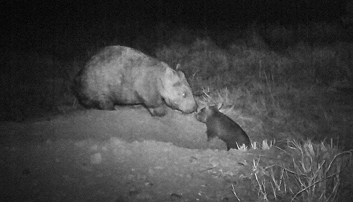 Mother and joey (Image from the Department of Environment and Heritage Protection)