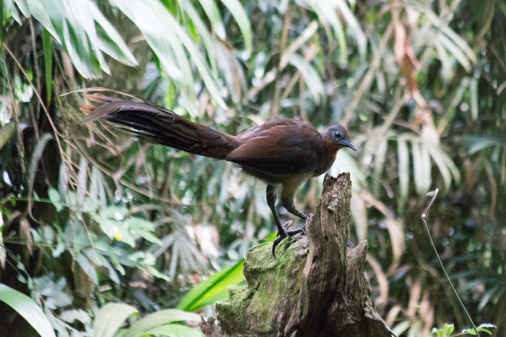 Albert's Lyrebird ( Menura alberti )