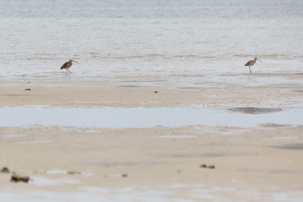 Eastern curlews (Numenius madagascariensis) at ebb tide