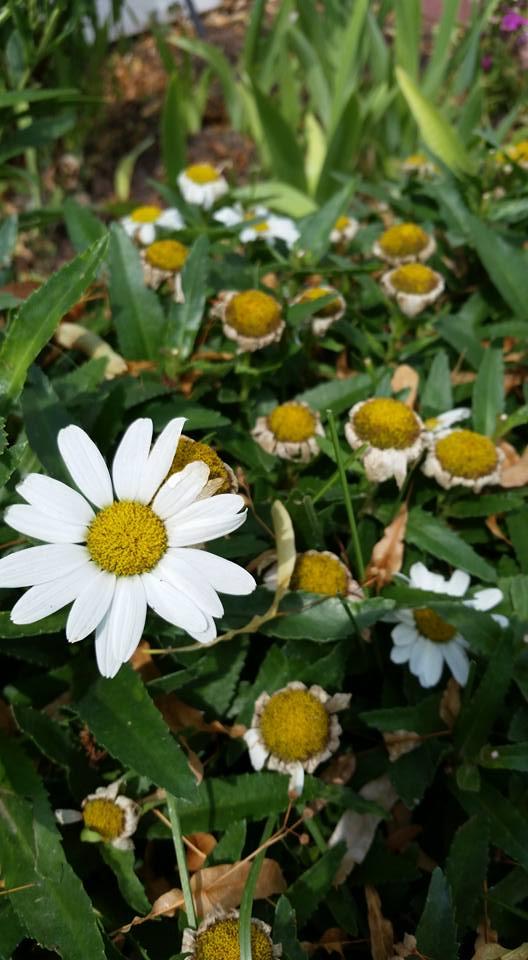 Daisy from garden