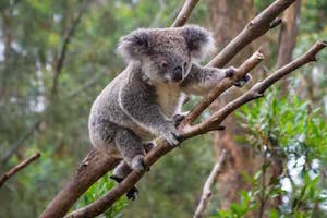 mt-warning-bed-breakfast-retreat-koala-australia-animals-3