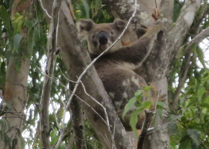 mt-warning-bed-breakfast-retreat-koala.jpg