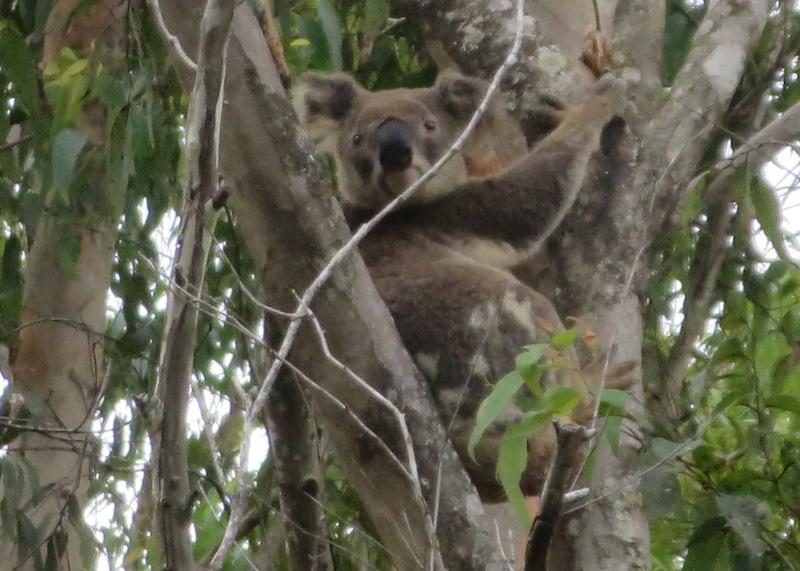 mt-warning-bed-breakfast-retreat-koala.jpg