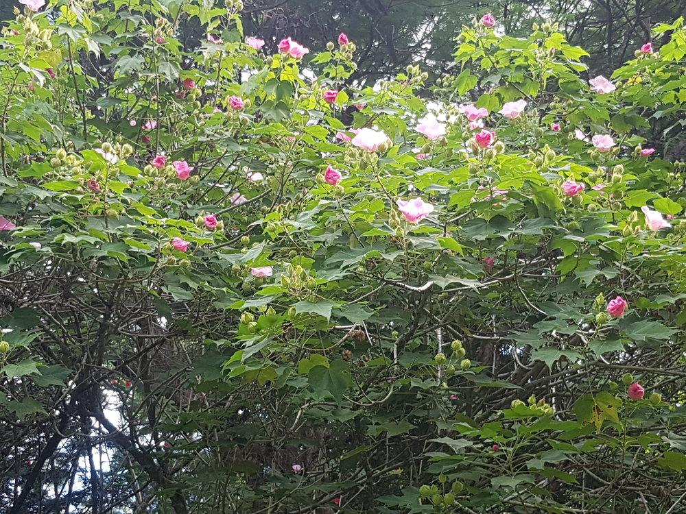 hibiscus tree jpg.jpg