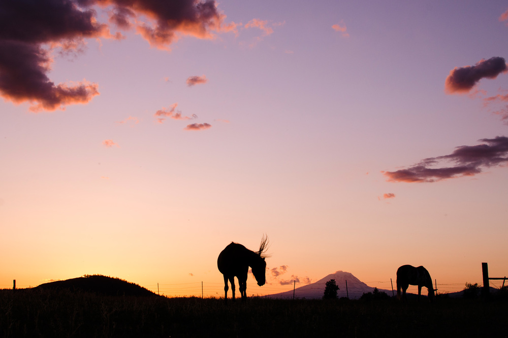 Horse silhouettes in front of Mt. Adams at sunset.