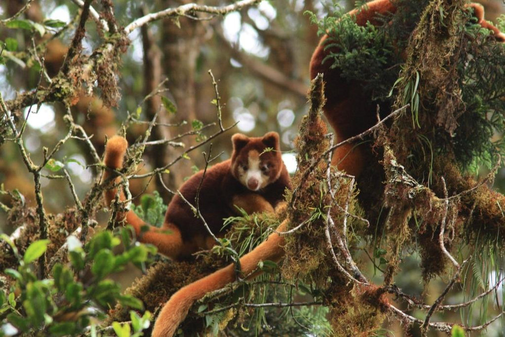 """Tree kangaroos are marvelous creatures, the essence of adorableness,"" enthuses Kathryn. ""When you first see them, it's as if a child has left a stuffed critter up in a tree."""