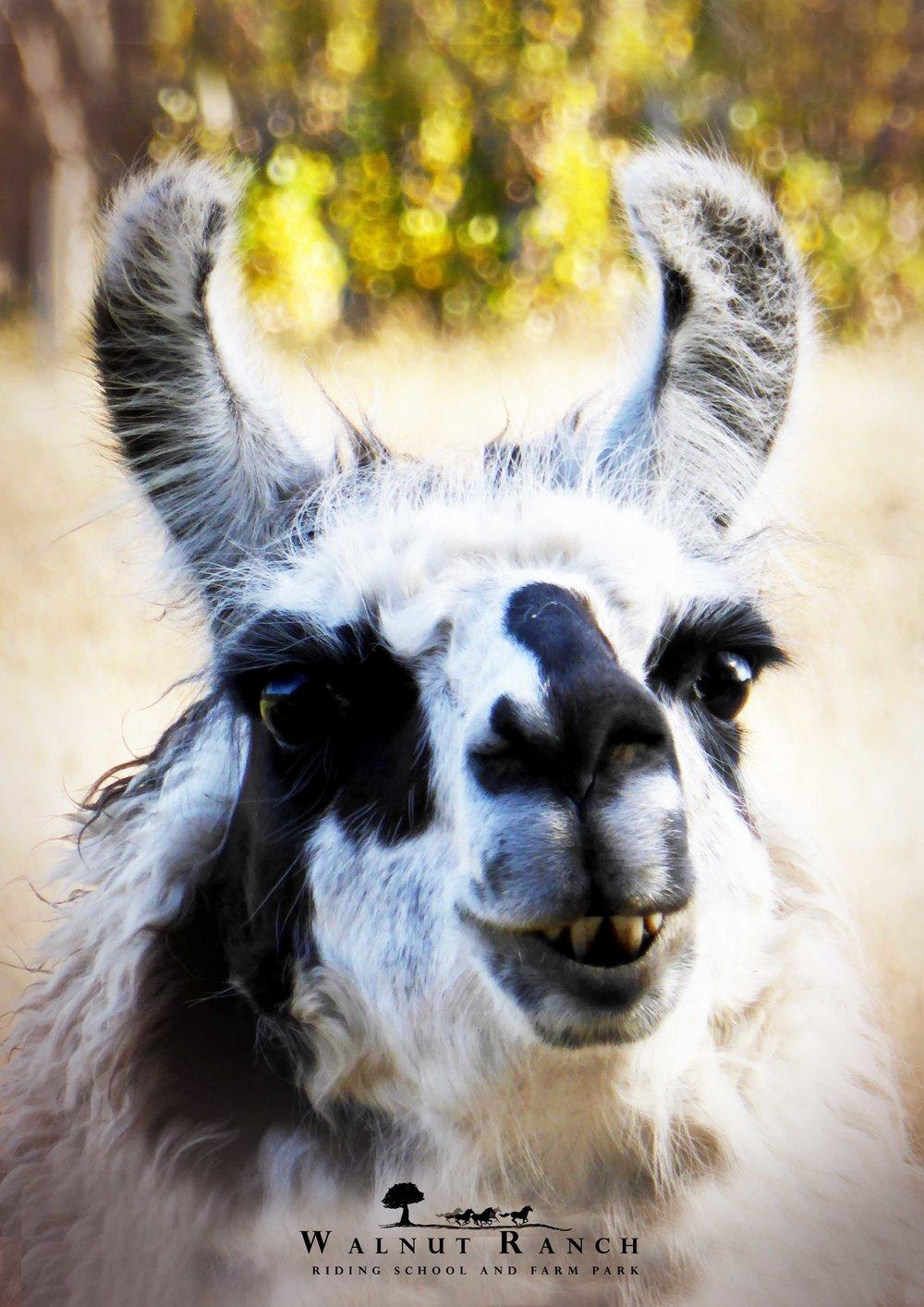 Nigel the Llama