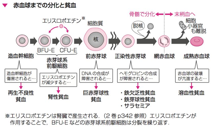 なぜ3巻6章では、赤血球の分化と貧血についても↑のように詳しく説明しています☆