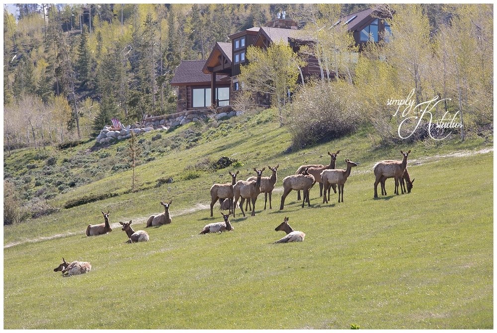 Elk in CO.jpg