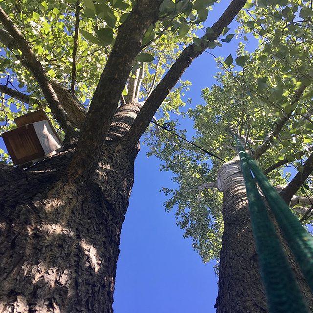 Och så sista lilla pysslet - en balsampoppel som vart av med ett par döda grenar och fick sig ett säkerhetsbälte 😁 Nu semester!