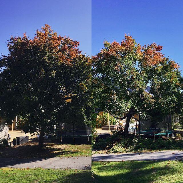 Lite mindre, mkt ljusare 🌳 🌞 Är i Umeå o beskär träd ett par dagar 🍃🍎