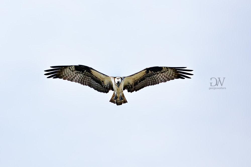 osprey-6915.jpg