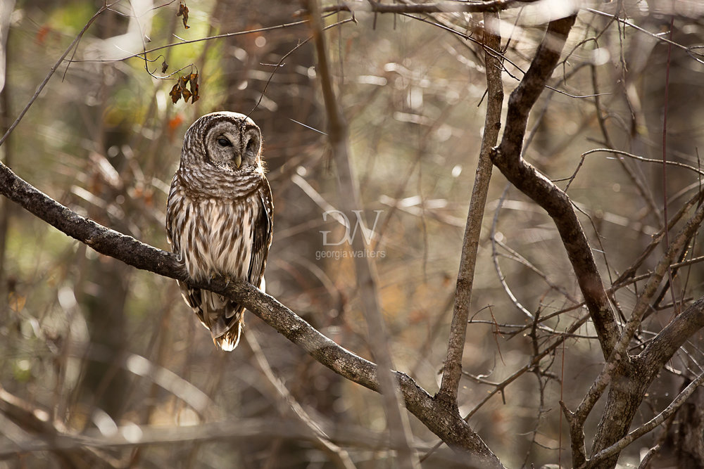Barred owl sitting on a tree branch.