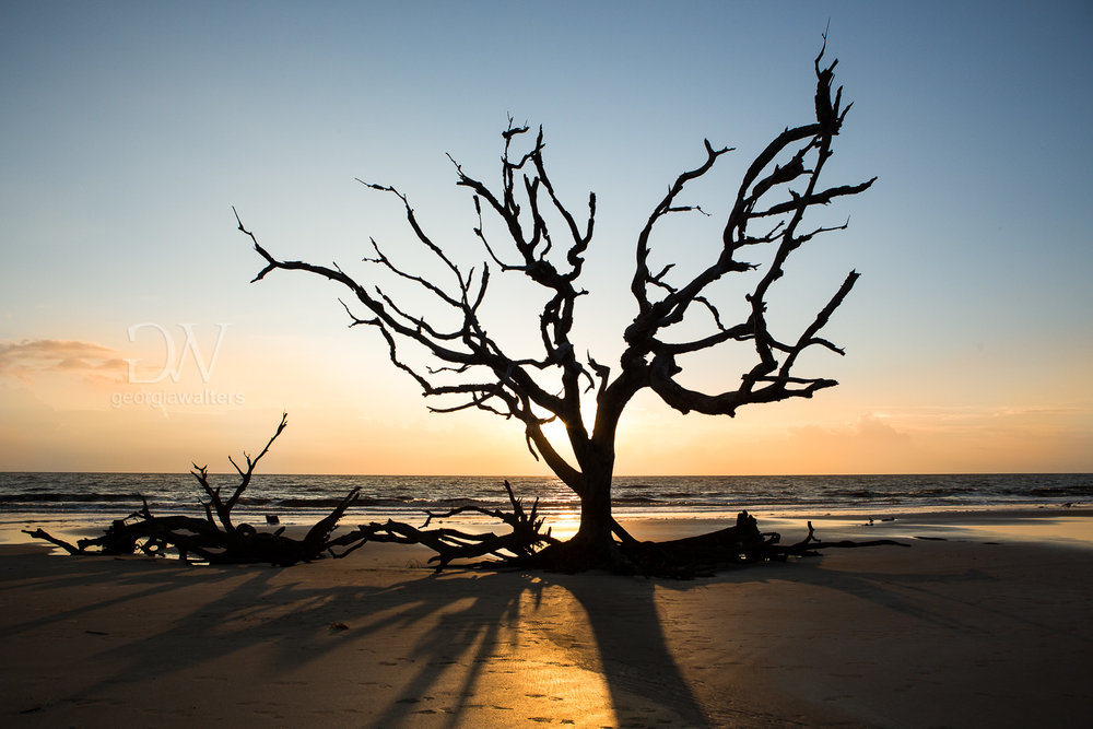 The skeleton of a tree on Driftwood Beach at sunrise.