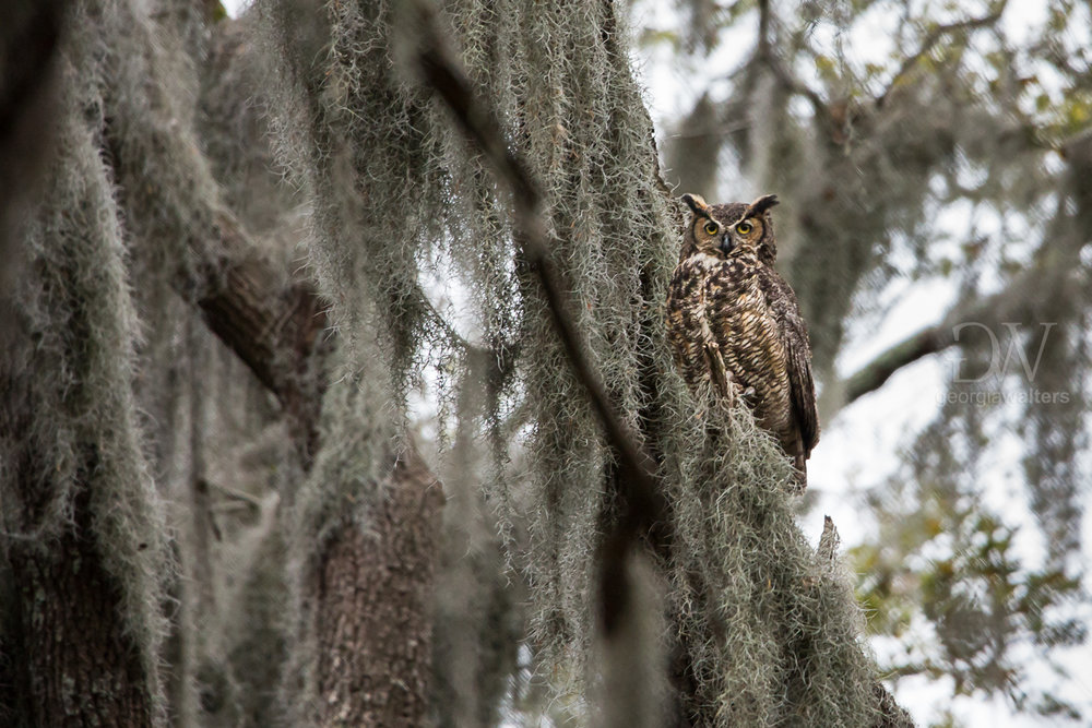 Great Horned owl in Spanish moss.