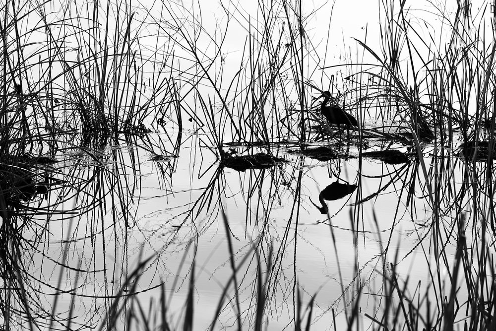 A black and white look at a bird in the marsh.