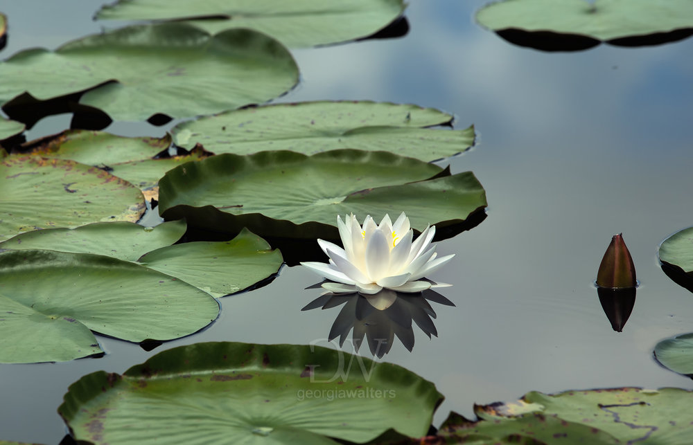 A lotus blooms in the lily pads.